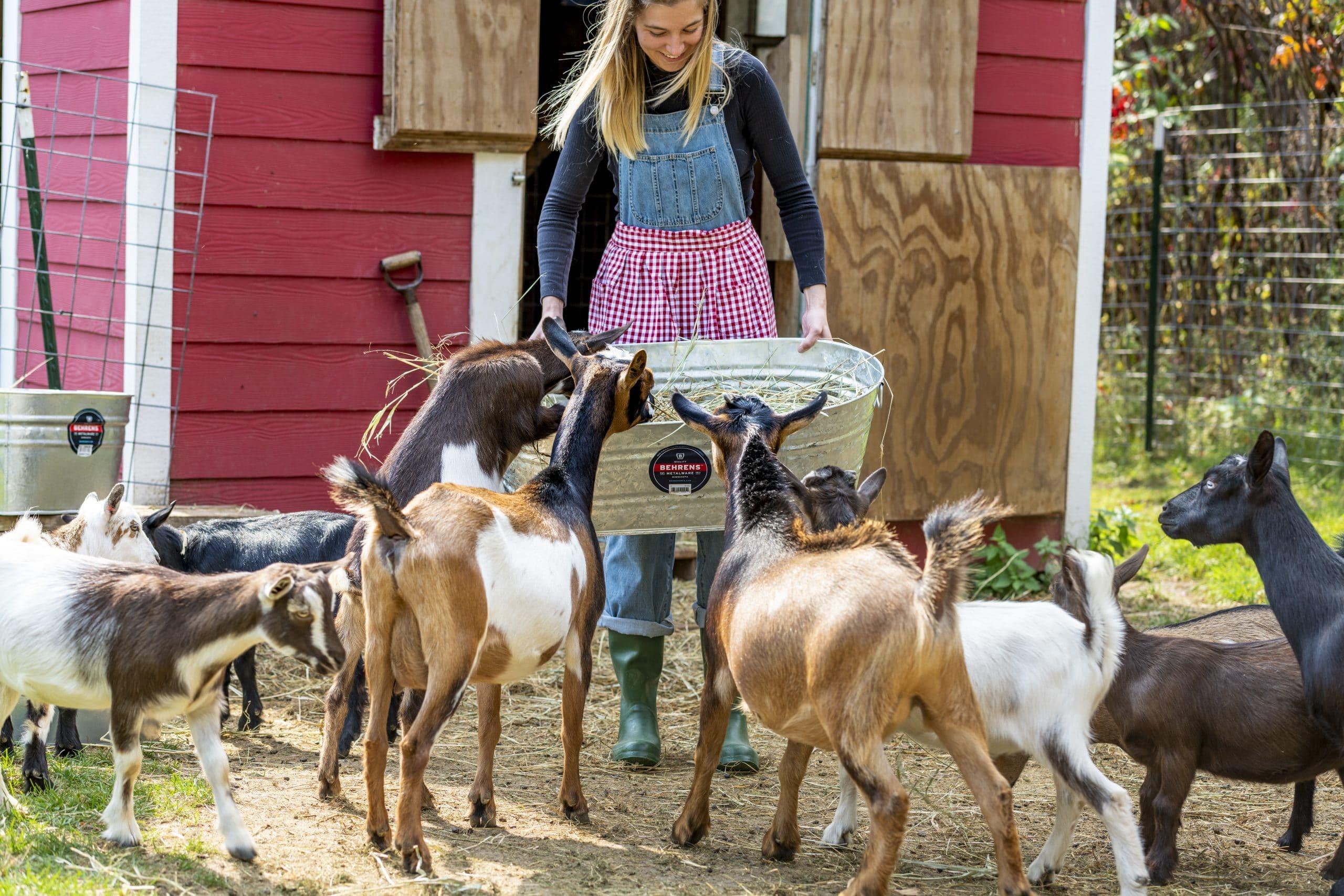 Woman holding galvanized tub feeding goats on hobby farm